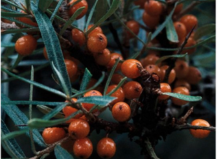 Why we LOVE Sea Buckthorn