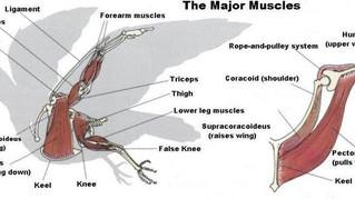 Les muscles pectoraux du pigeon voyageur – Vitesse vs Fond (1)