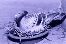 Comment élever de bons pigeons ?
