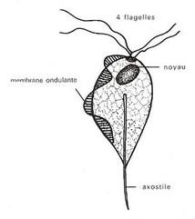 Le point sur la Trichomonose