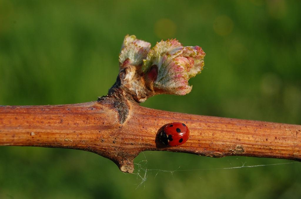 vinograd 24.4.08 057