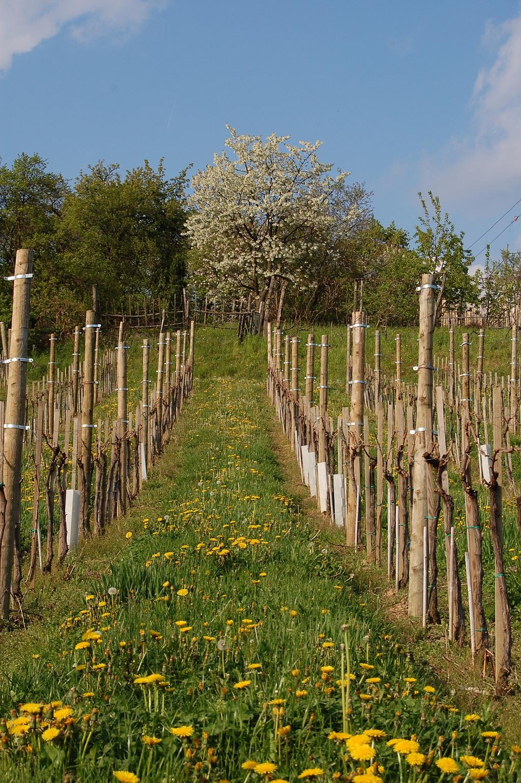 vinograd 24.4.08 040