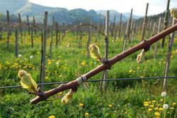 vinograd 24.4.08 030