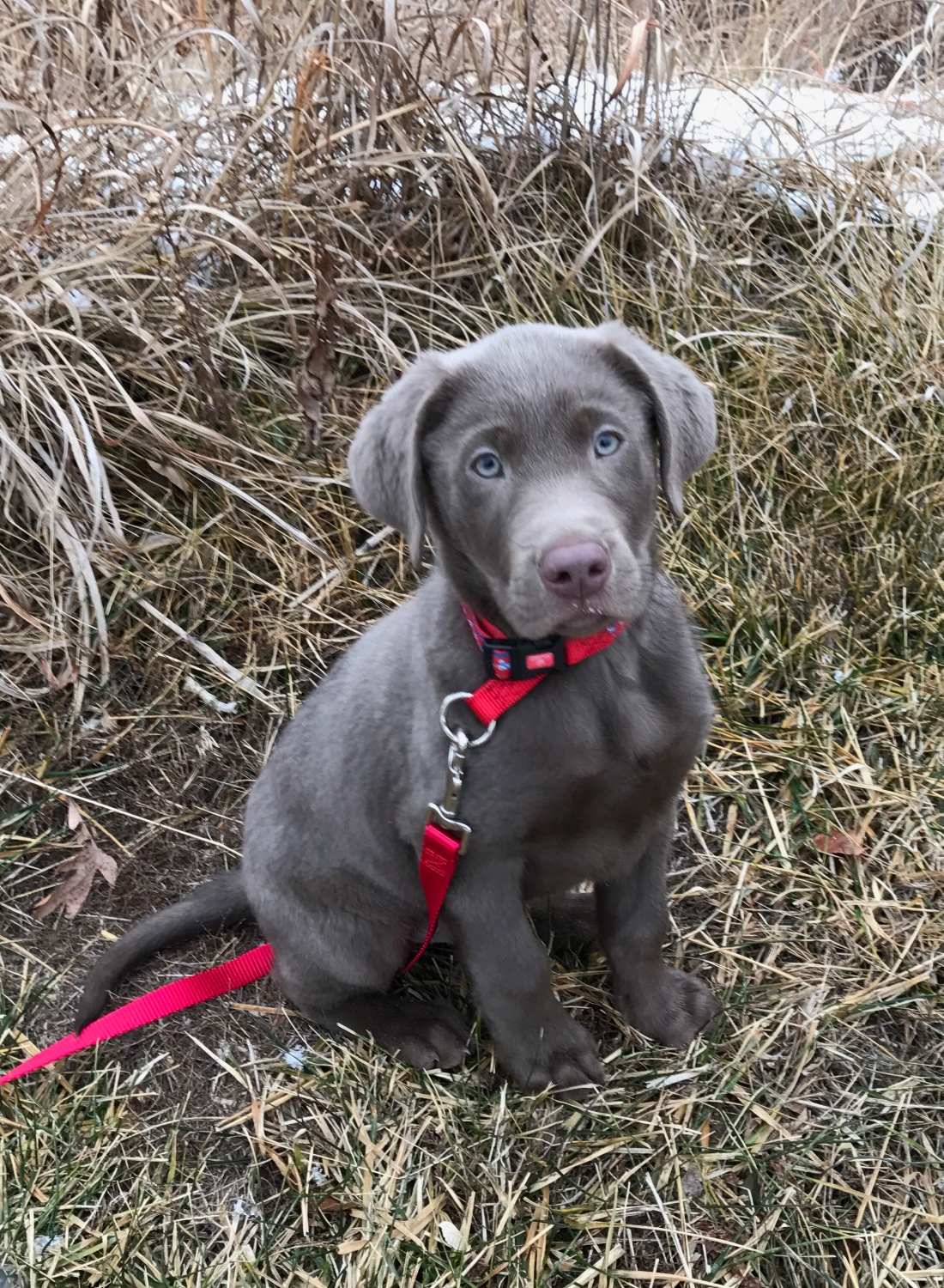 Charcoal Silver Lab Puppies For Sale K D Silver Labs Lebanon Mo