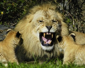 Lion Photo by ucumari