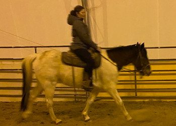 Beacon TWH gelding