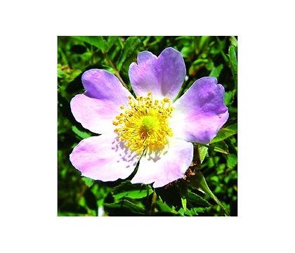 eglantine-wild-rose 2.jpg