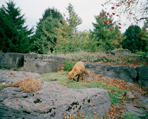 Botanical Garden- Fox
