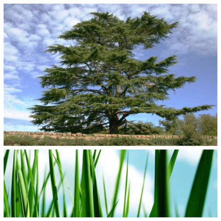 Cedars of Lebanon or Blades of Grass??