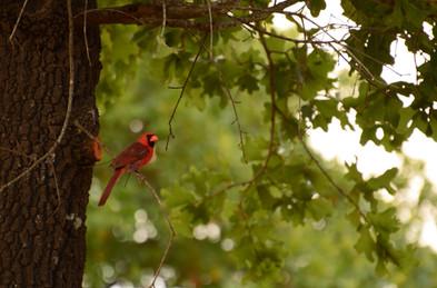Cardinals love the bird feeders