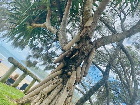 Introducing a native Australian Tree of Life & Beauty ~ The Pandanus
