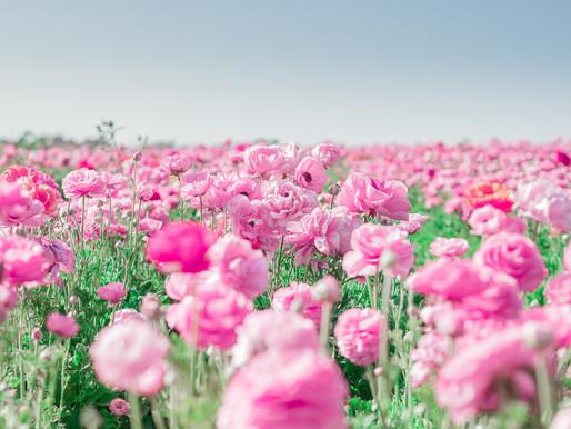 Flower Fields (Cali part 3/4) Carlsbad, CA // Travel