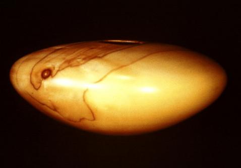 poplar hollow form