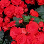 Bagonia Red