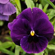 Pansy Matrix Purple