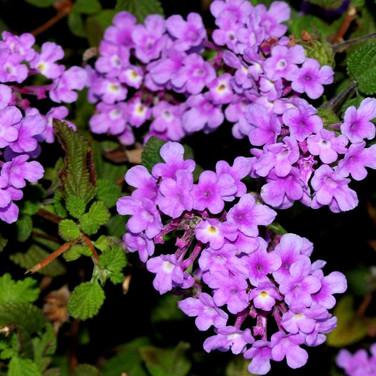 Lantana Trailing Lavender
