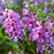 Angelonia Purple