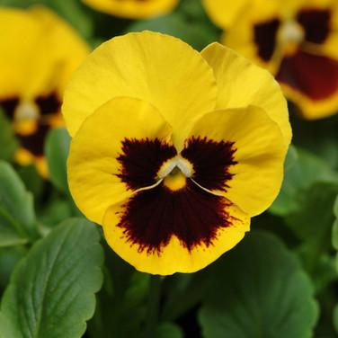 Viola Yellow Blotch