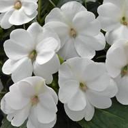 Sunpatiens White