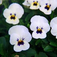Viola White Blotch