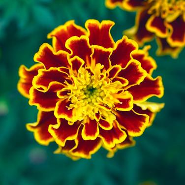 Marigold Flame