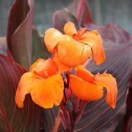 Canna Bronze Orange