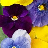 Pansy Matrix Tricolor Mix