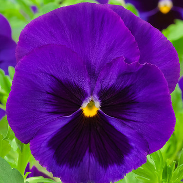 Viola Blue Blotch