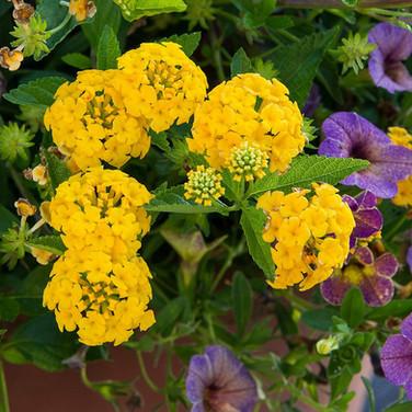 Lantana Bandana Yellow