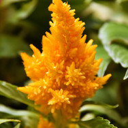 Celosia Yellow