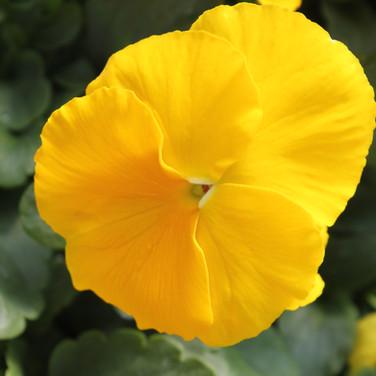 Pansy Matrix Yellow