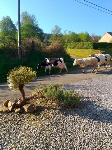 soms lopen de koeien voorbij om gemolken te worden94883254_568692003751321_426317899750178