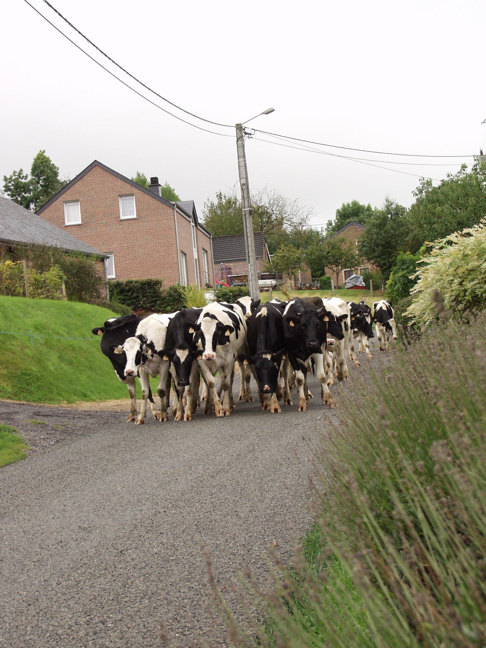 soms wisselen de koeien van weide