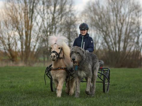 Wolfshund und Shetty.jpg