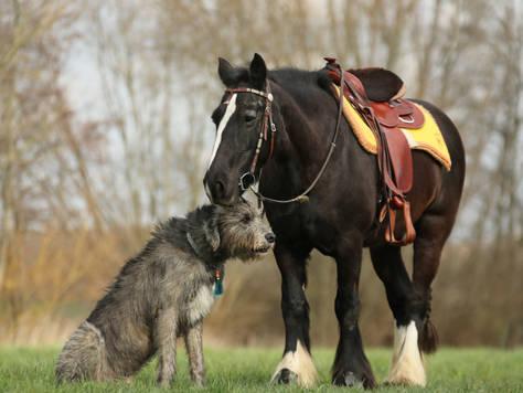 Irish Tinker mit Irischem Wolfshund.jpg