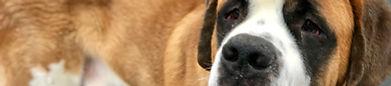 Saint Bernard, Dog Training, Reno Dogs, Reno Dog Training, Balanced Dog Training, Ideal Canine, Ideal k9