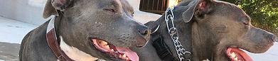 Pit Bulls, Dog Training, Ideal Canine, Blue nose, Reno, Reno Dog Training