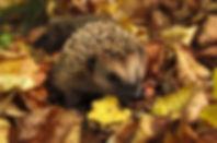 hedgehog-985315_960_720.jpg