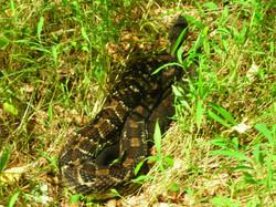 Poconos Timber Rattlesnake
