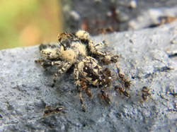 Ants Eating a Spider-Paul Micarelli