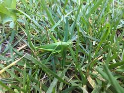 Hidden Grasshopper-Paul Micarelli