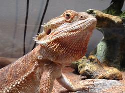 Valencia's Lizard-Paul Micarelli