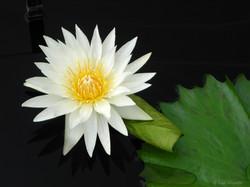 White Lotus Flower-Paul Micarelli