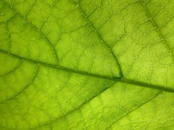 Leaf Macro-Paul Micarelli