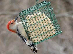 Red Bellied Woodpecker: Kathy Hensel