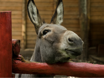Talking donkey continues silent protest because atheists doubt ability.