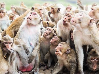 BREAKING: Monkeys deny Evangelicals share common ancestor.