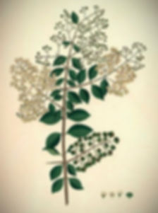 lawsonia-inermis-historical-artwork-scie