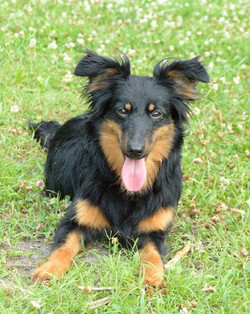 Sophie sheltie mix