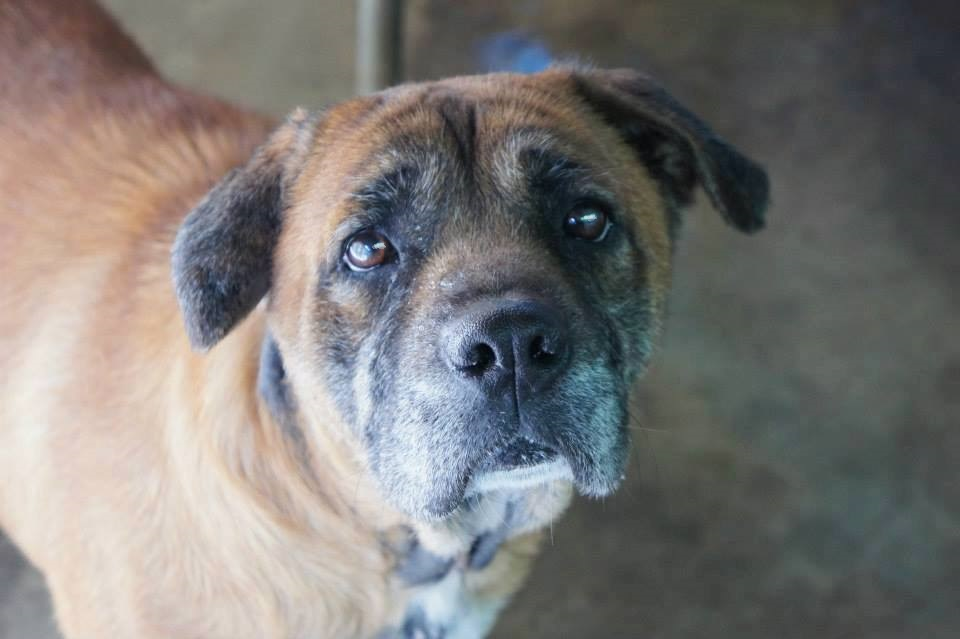 boxer mix adult